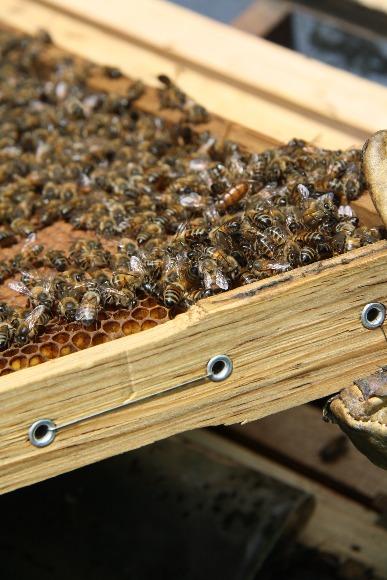 Protocolo para la polinización con abejas Apis mellifera en cultivos de importancia económica