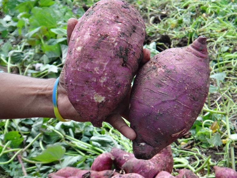 Agrosavia Ambarina: nueva variedad de batata el Caribe seco y húmedo