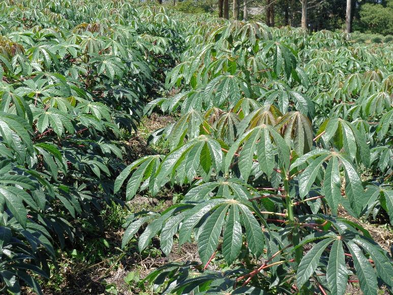 Corpoica Belloti: nueva variedad de yuca industrial para el Caribe seco y húmedo