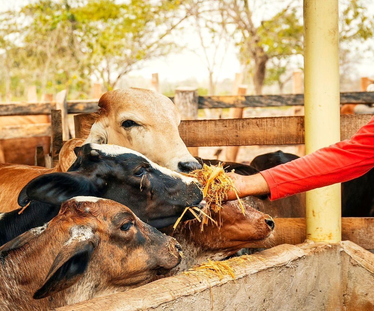 AGROSAVIA promueve suplemento alimenticio para el ganado, clave para afrontar sequía