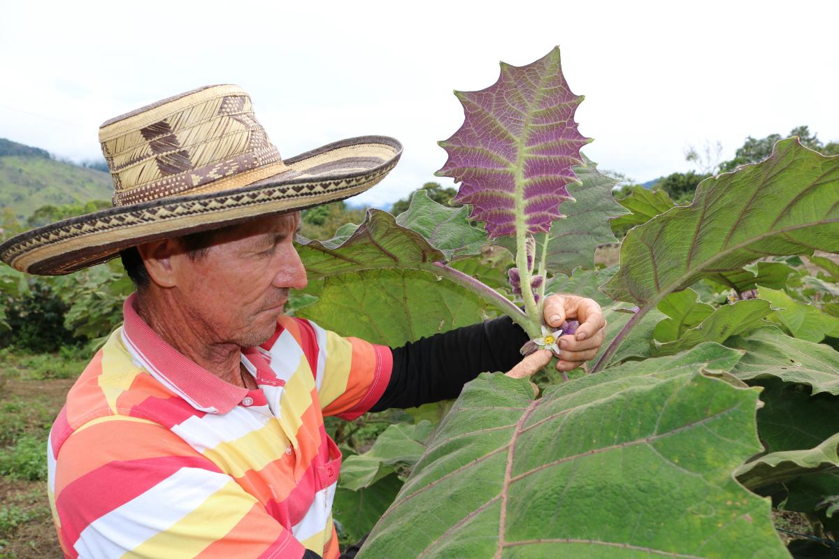 AGROSAVIA continúa capacitando a productores de lulo en el norte del Valle del Cauca
