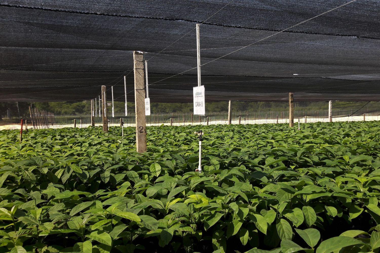 AGROSAVIA inicia acciones para la recuperación del aguacate antillano en los Montes de María