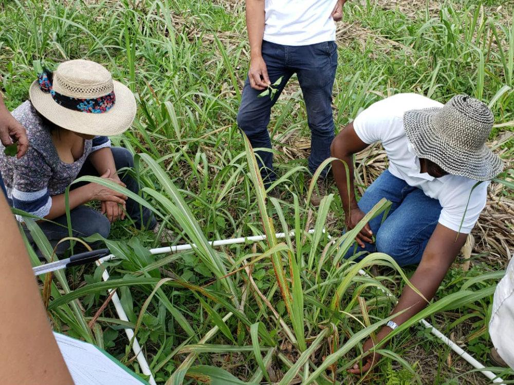 Taller de reconocimiento y control de malezas en el cultivo de caña en Nariño