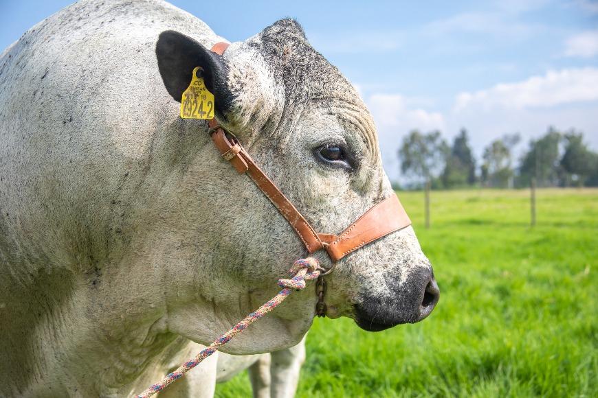 Material genético de razas criollas (semen y embriones) seleccionado por su alto mérito genético para uso estratégico en sistemas de ganadería bovina