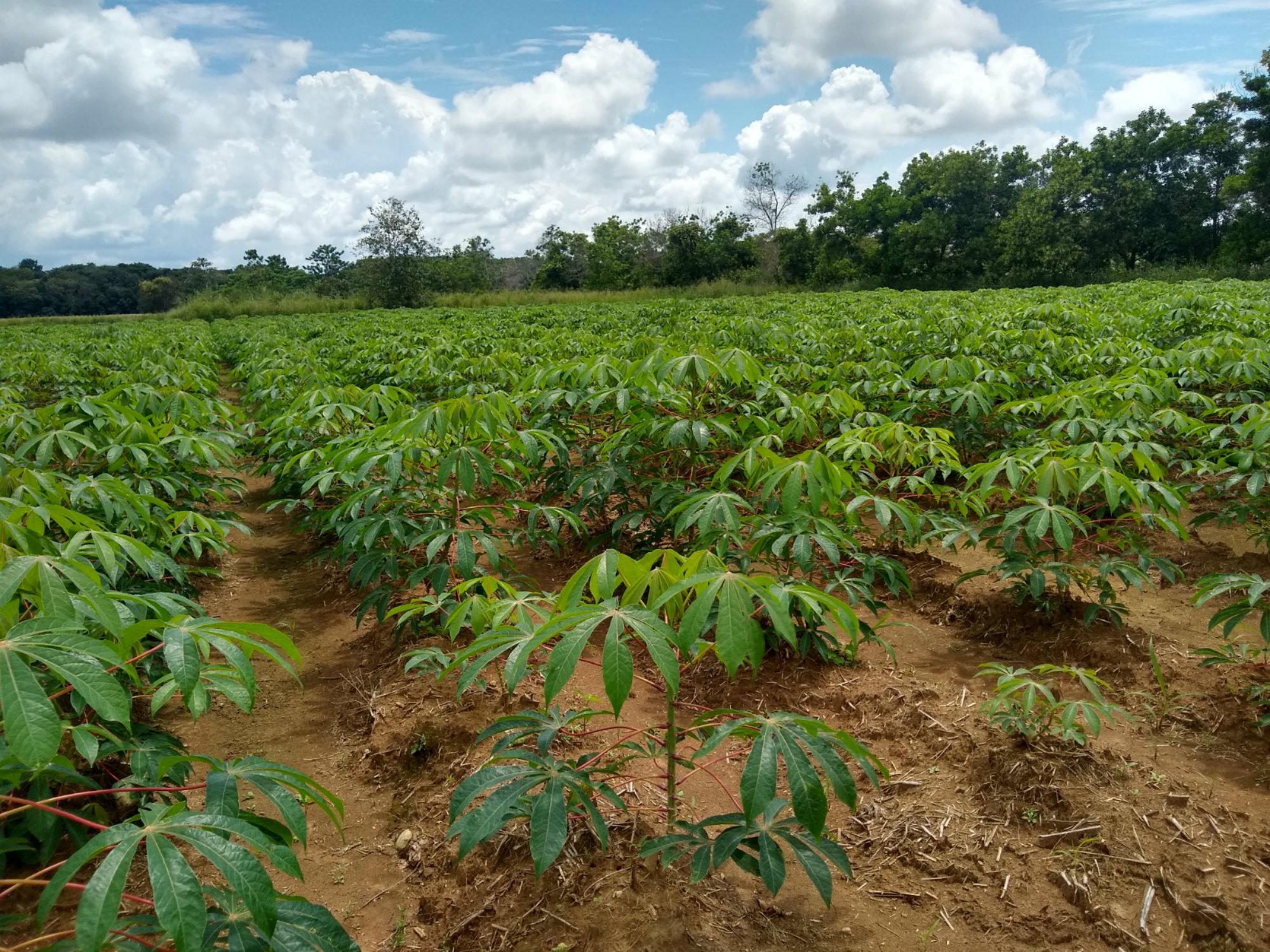 Melúa 31 nueva variedad de yuca industrial para la Orinoquia colombiana