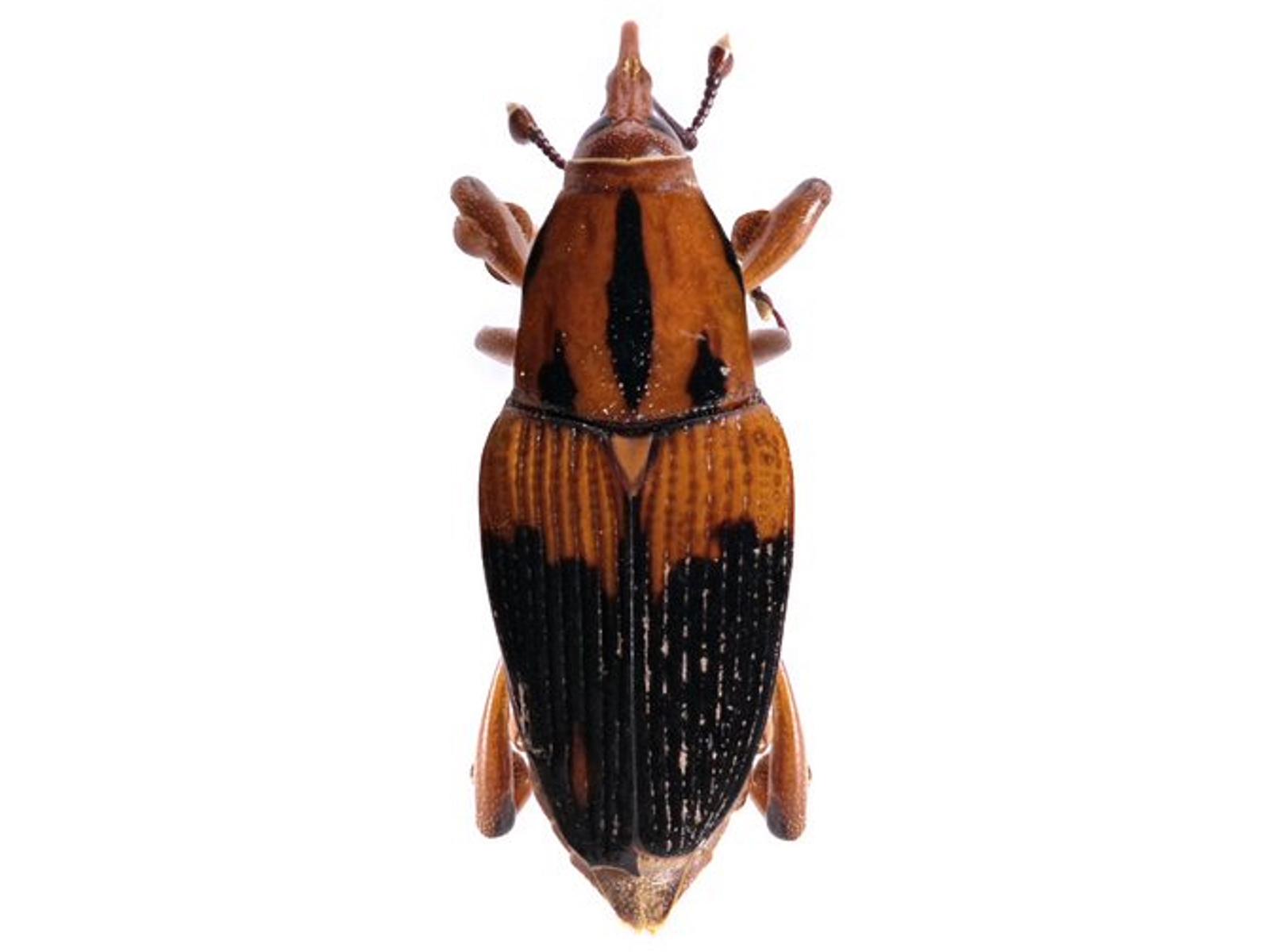 Metamasius hemipterus (Linnaeus, 1758)