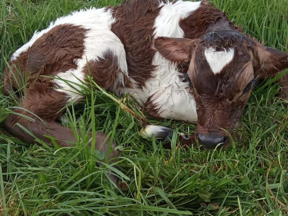 Nacieron seis animales puros de la raza kiwi cross producto de la transferencia de embriones en Pasto
