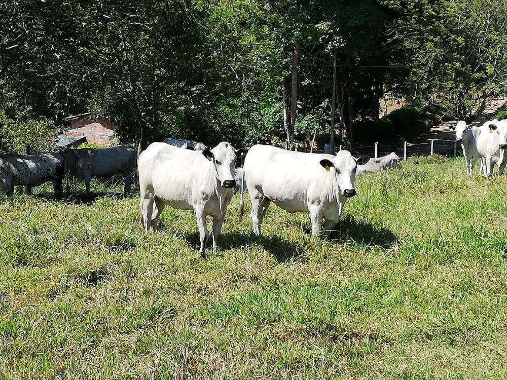 El Centro de Investigación El Nus oferta lotes de ganadería BON, como opción para adquirir vientres y vincularlos en sus empresas ganaderas.