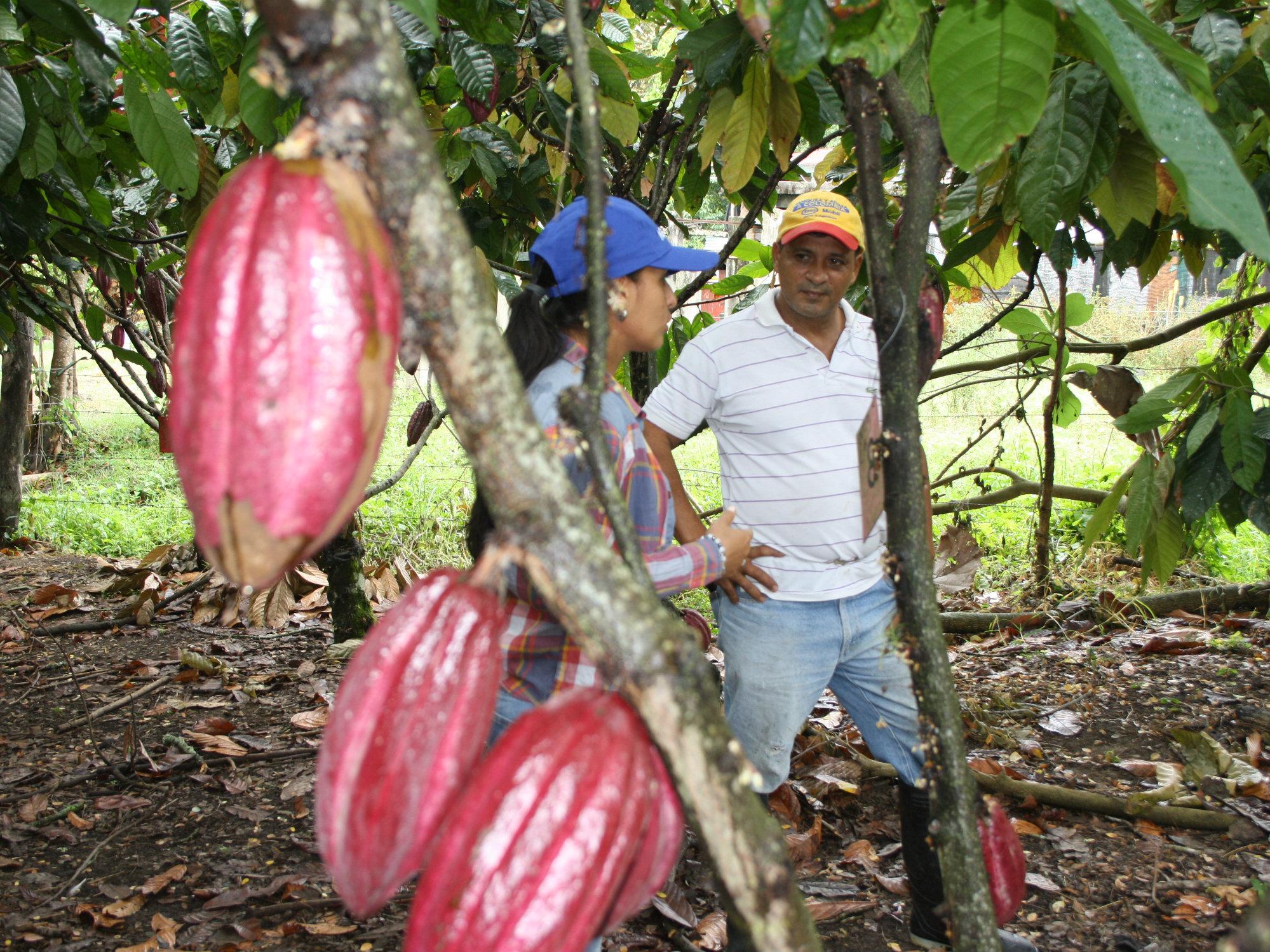 Estrategias de renovación y rehabilitación de plantaciones improductivas de cacao