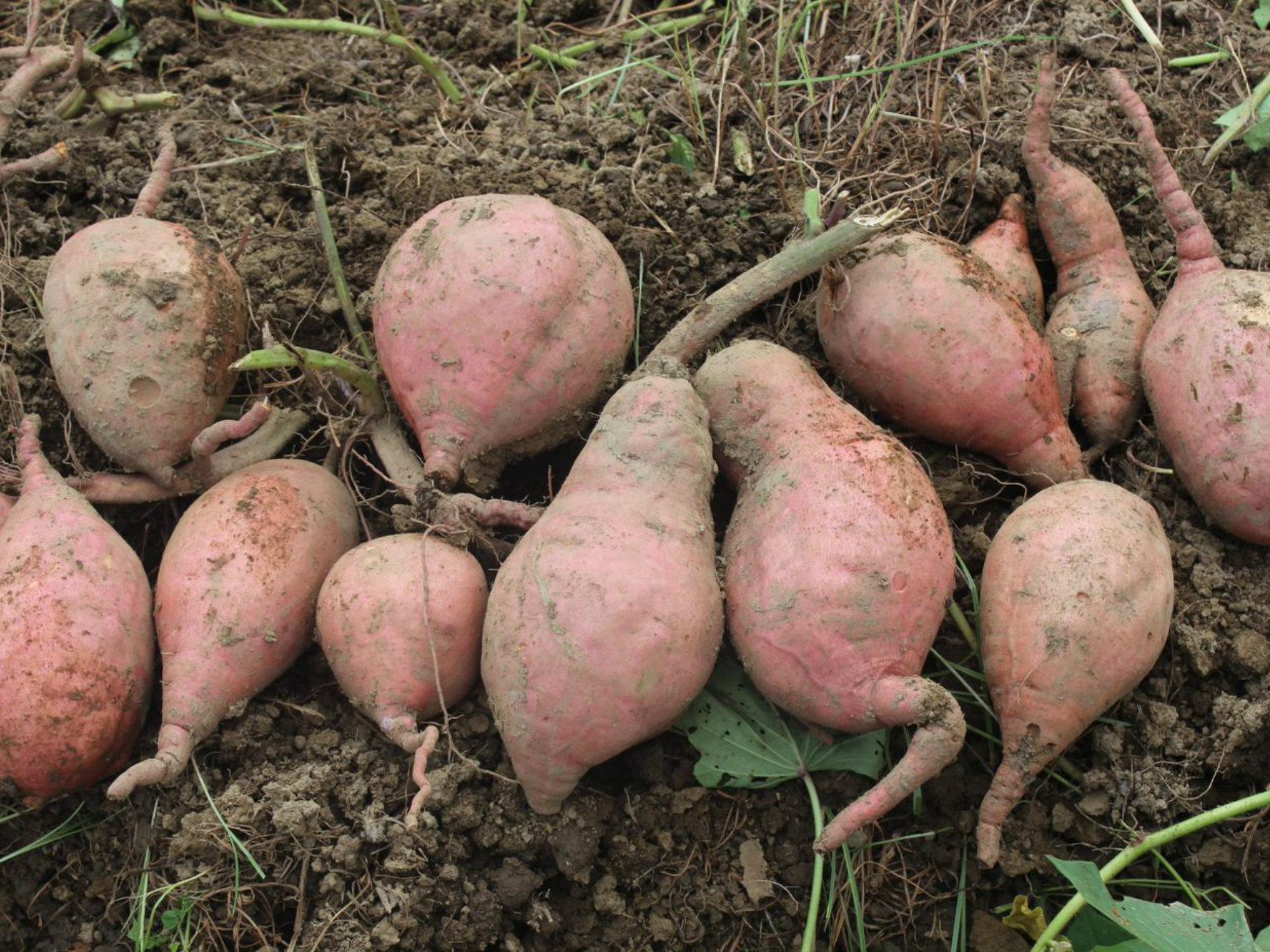 Se registra la primera variedad de batata AGROSAVIA Aurora