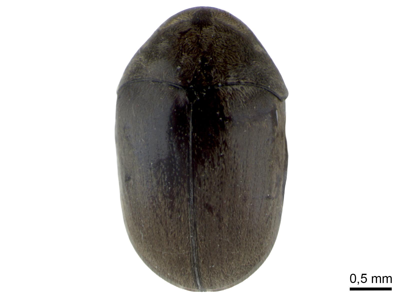 Tricorynus palmarum(Guérin-Méneville, 1851)