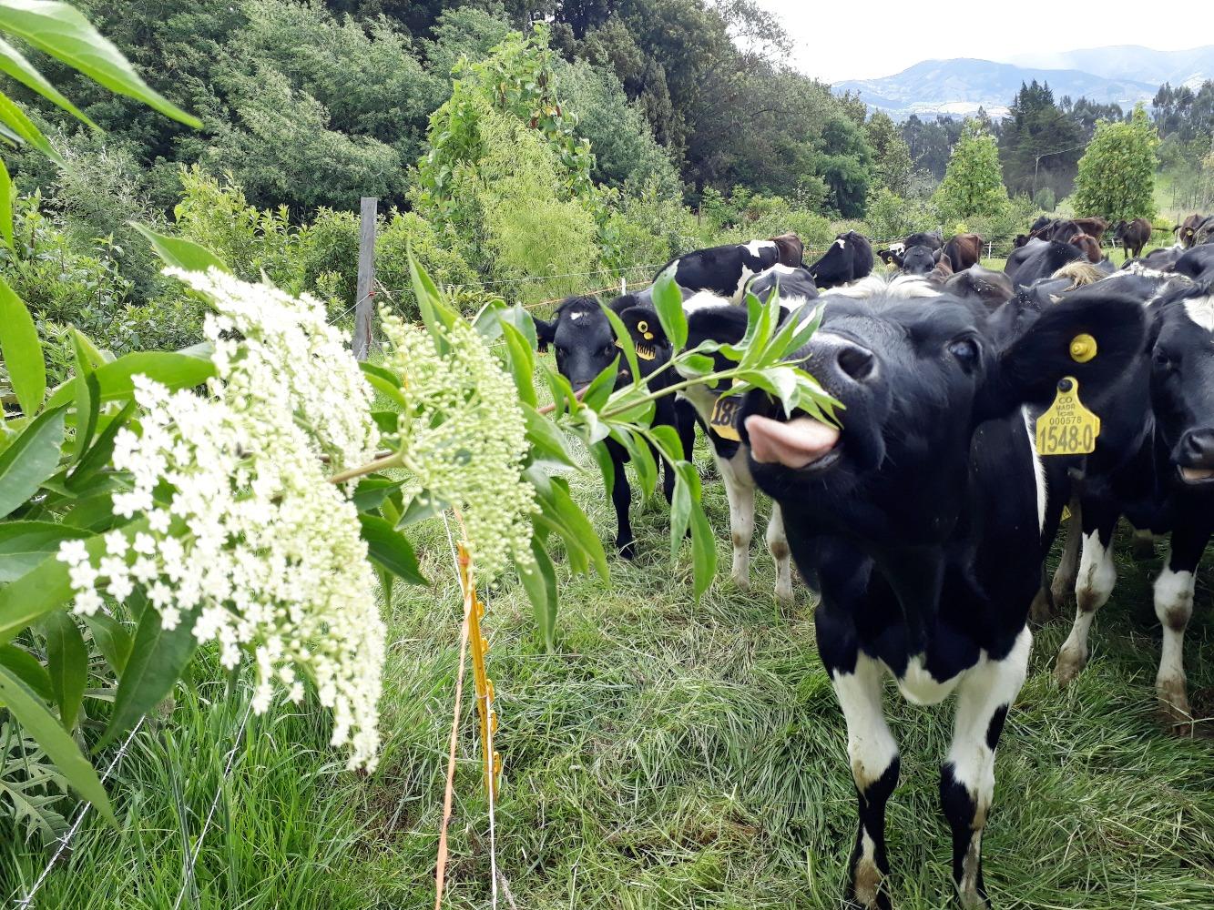 Sistemas agroforestales, una alternativa hacia la sostenibilidad en la producción ganadera