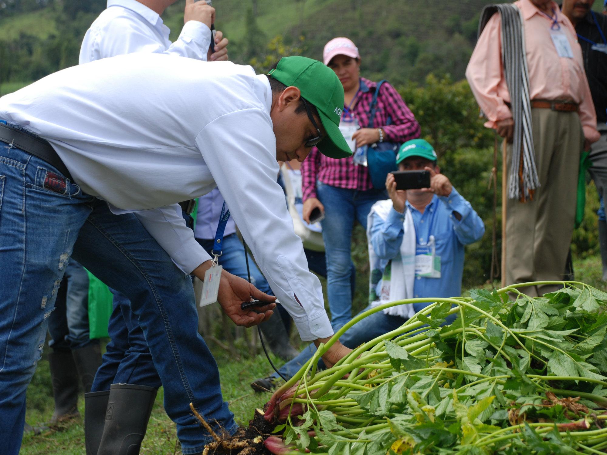La primera variedad de arracacha en Colombia, AGROSAVIA La 22