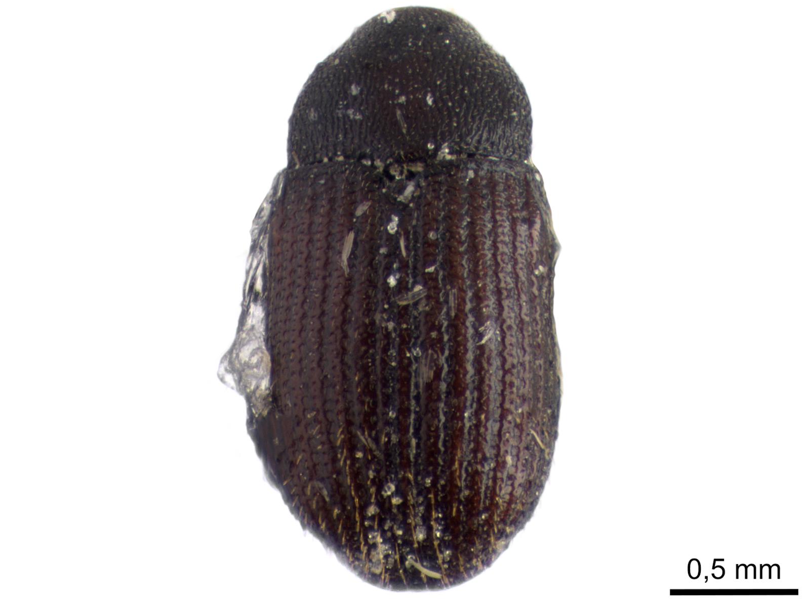 Stegobium paniceum (Linnaeus, 1758)