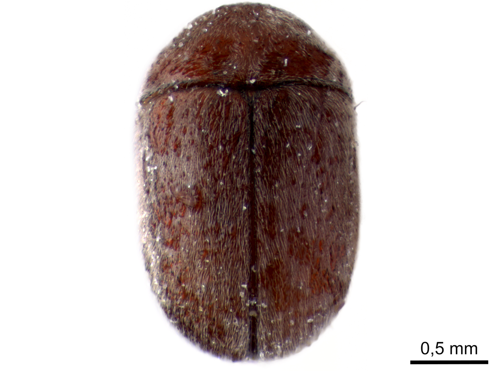 Lasioderma serricorne (Fabricius, 1792)