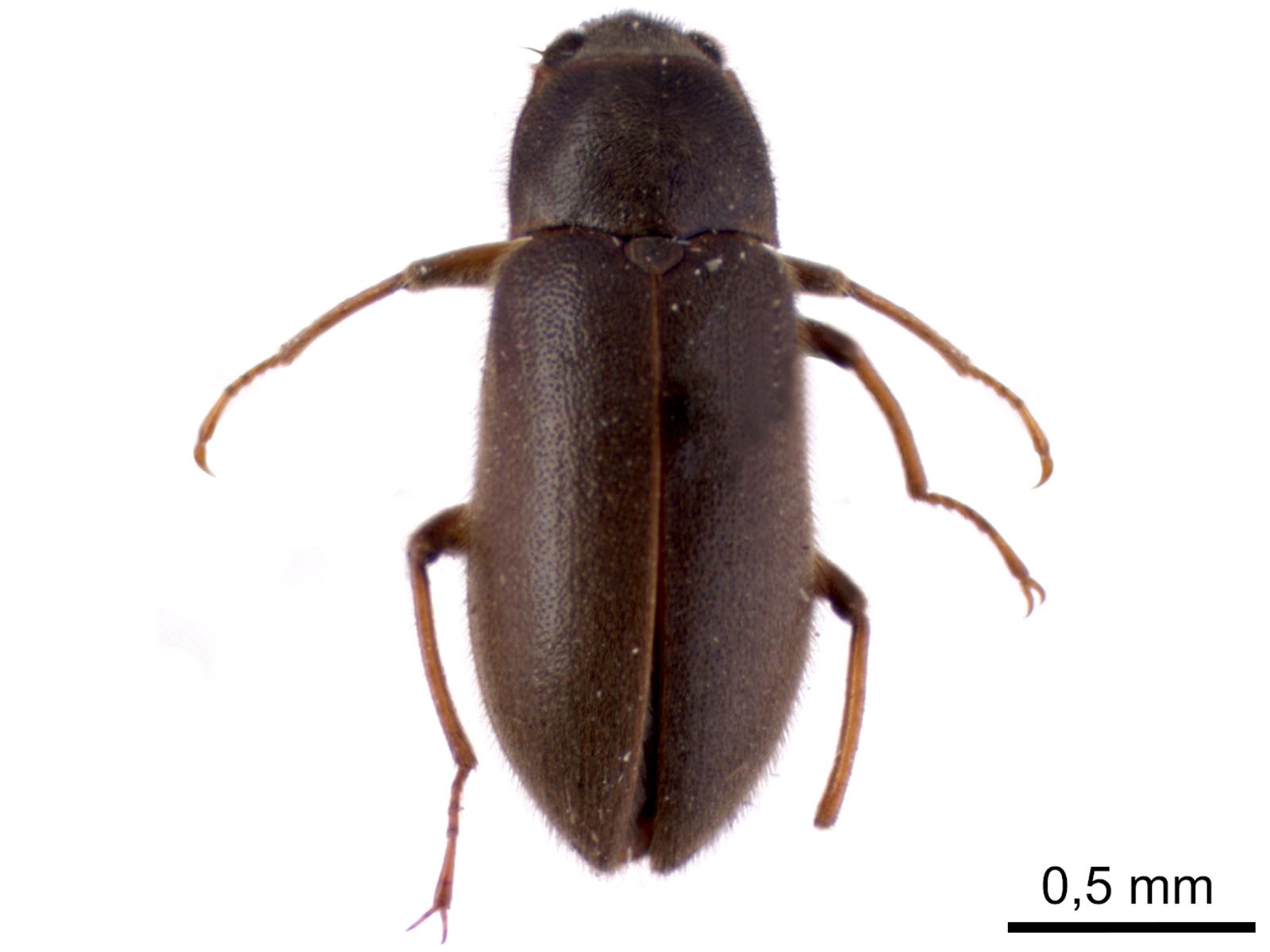 Pelonomus sp.