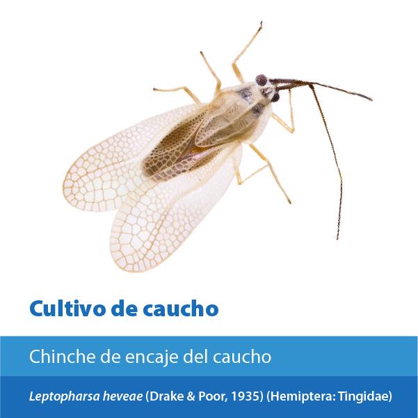 Chinche Encaje Caucho A