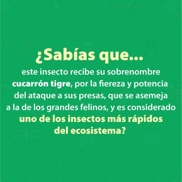 Cucarron Tigre B