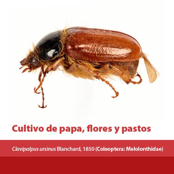 Cultivo Papa Flores Pastos A
