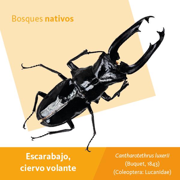Escarabajo A