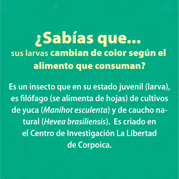 Gusano Cachon B