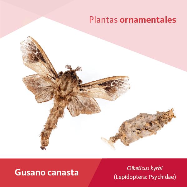 Gusano Canasta A