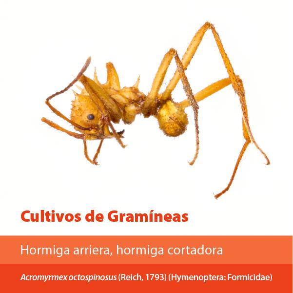Hormiga Arriera Cortadora A