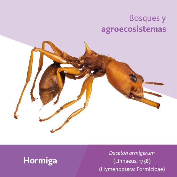 Hormiga Bosques A