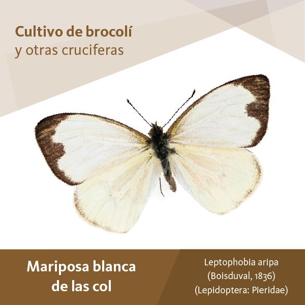 Mariposa Blanca Col A
