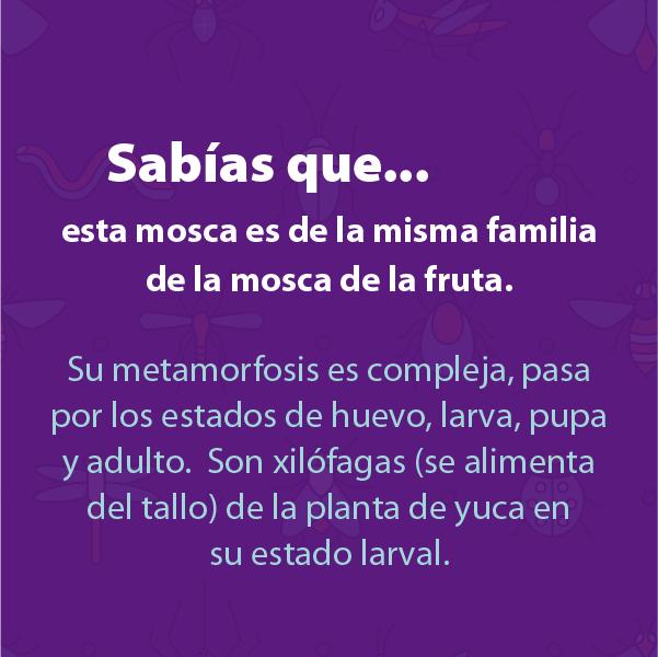 Mosca Yuca B
