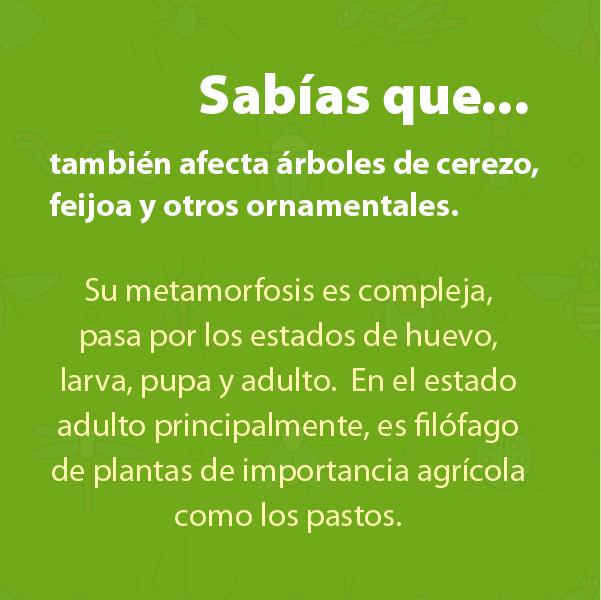 Picudo B
