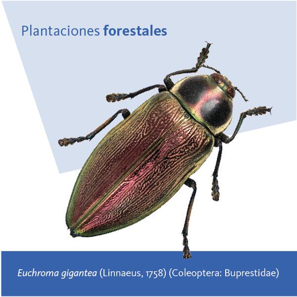 Plantacion Forestal A
