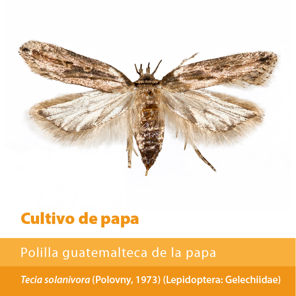 Polilla Guatemalteca Papa A