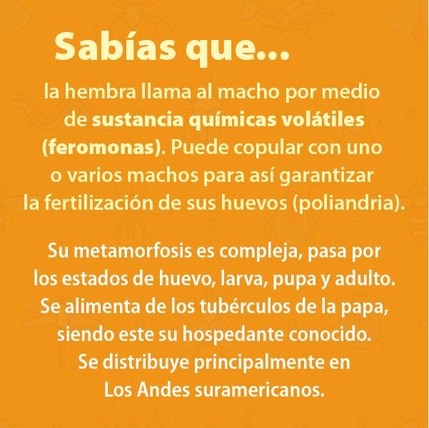 Polilla Guatemalteca Papa B