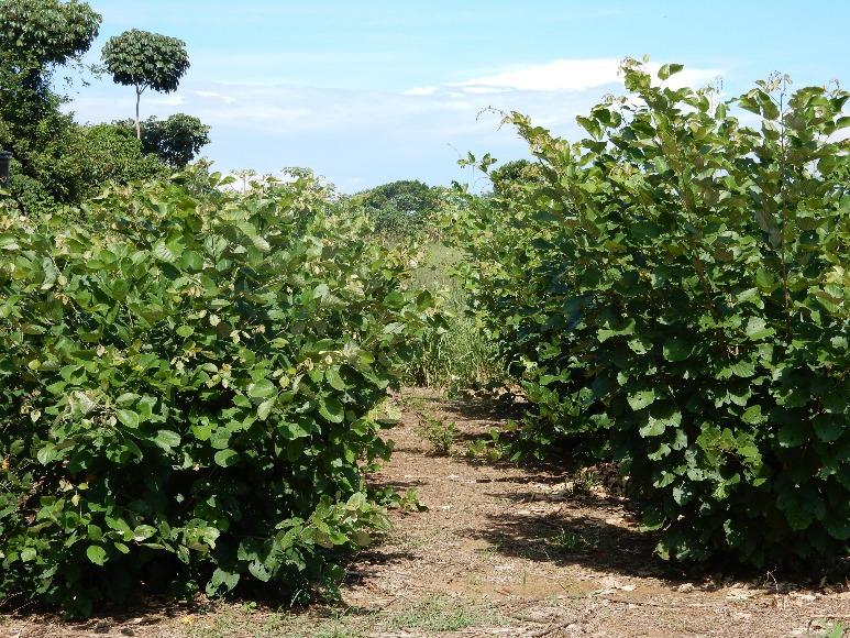 Recomendaciones de leguminosa arbustiva Cratylia argentea cv. veranera para la alimentación de bovinos en sistemas ganaderos de la Orinoquia colombiana