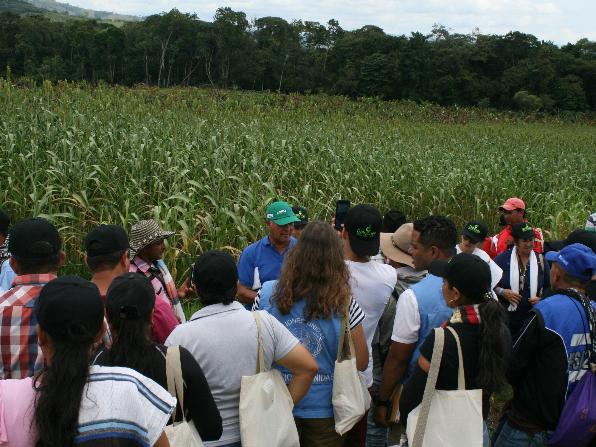 Día de campo interinstitucional en la Uribe, Meta con sorgo y maíz forrajero para la alimentación bovina