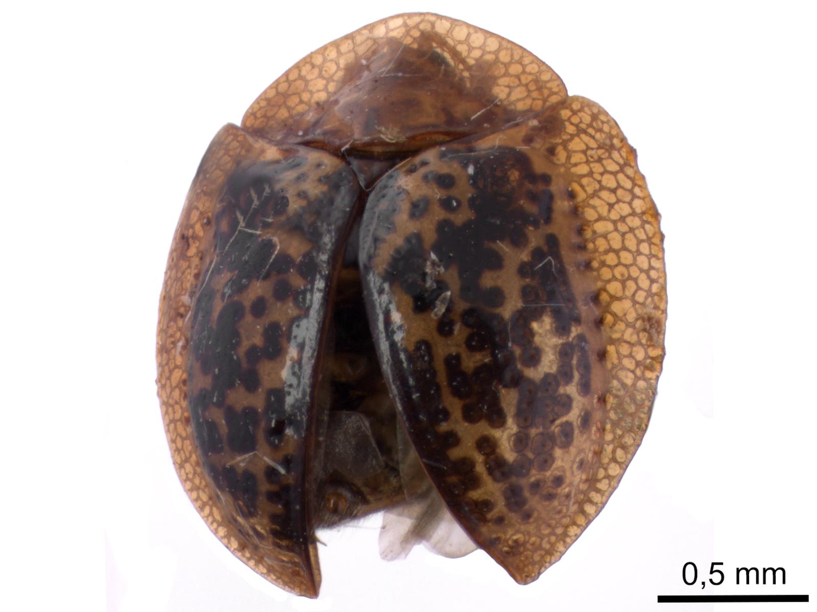 Agroiconota judaica(Fabricius, 1781)