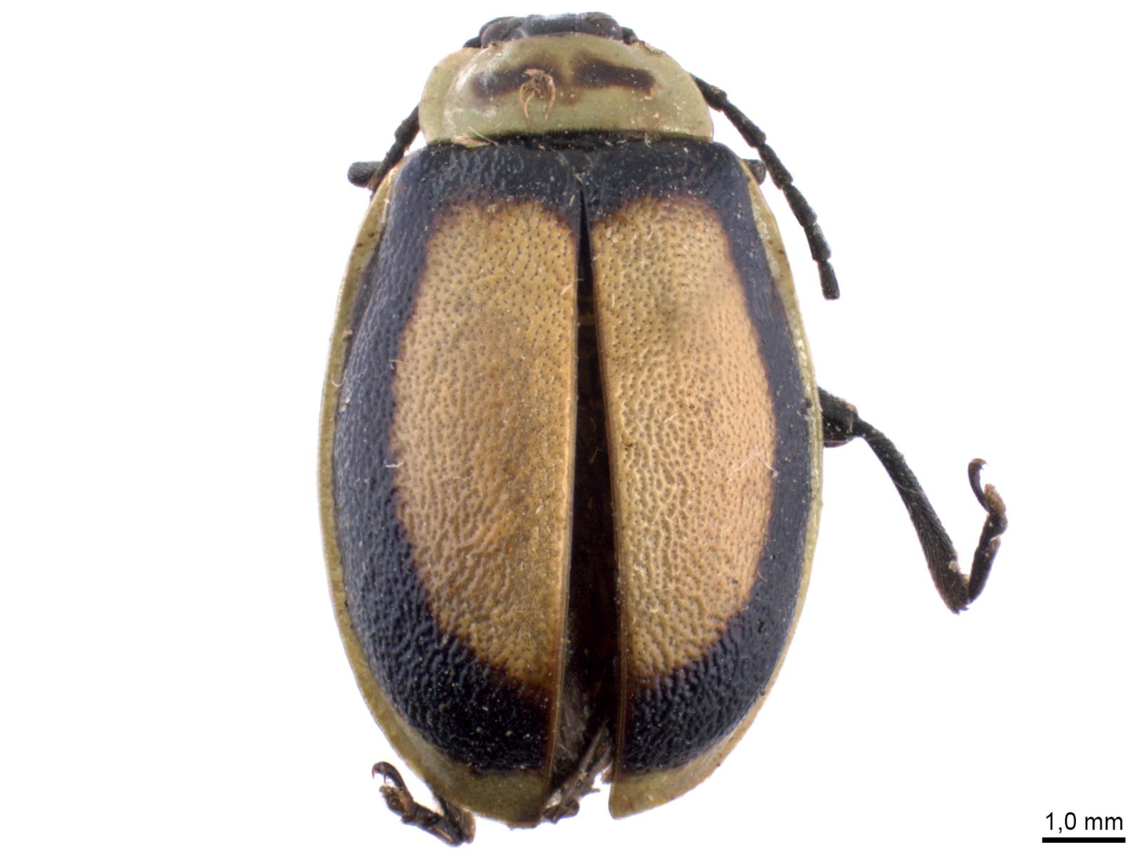 Aspicela scutata(Latreille, 1833)