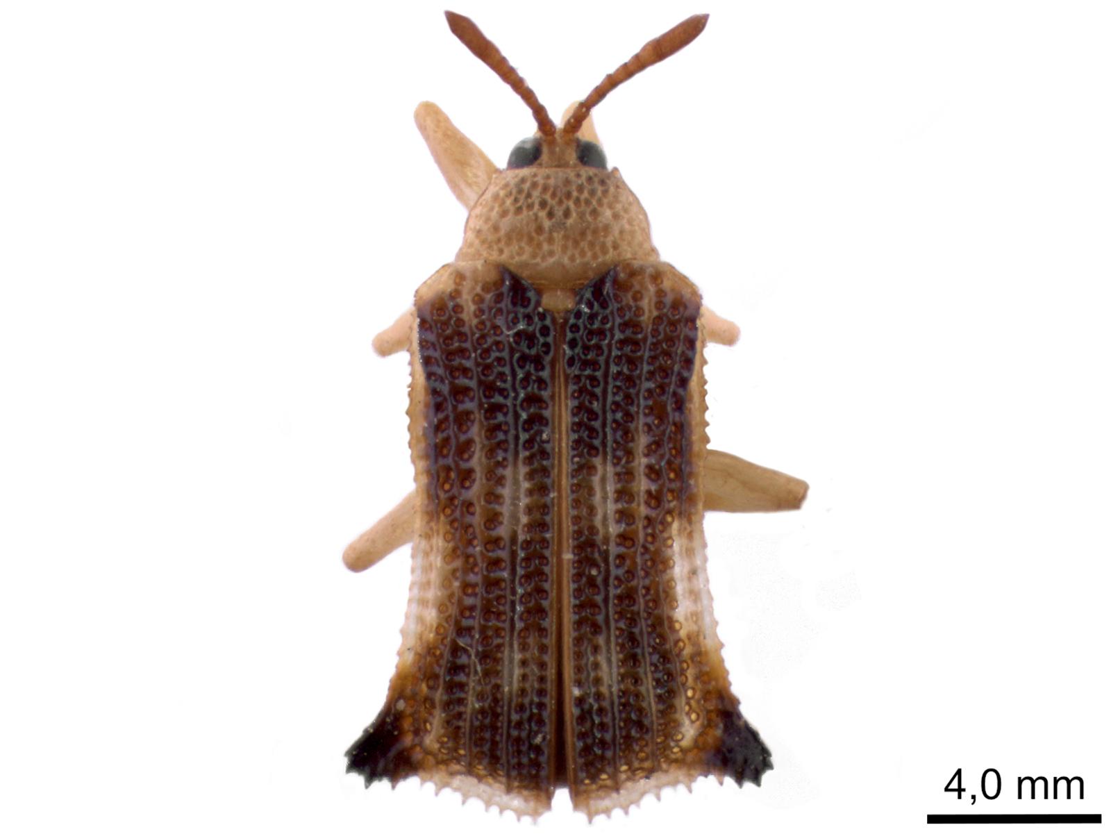 Uroplata spp.