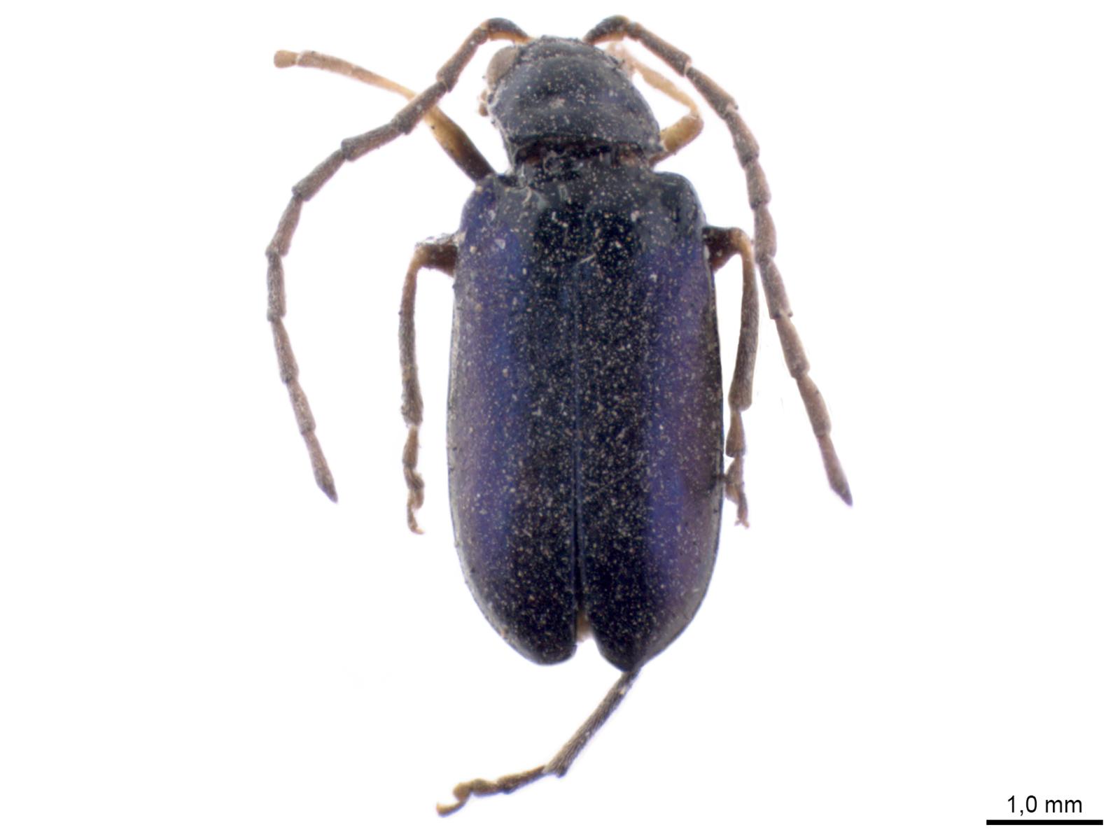 Fleutiauxia armata (Baly, 1874)