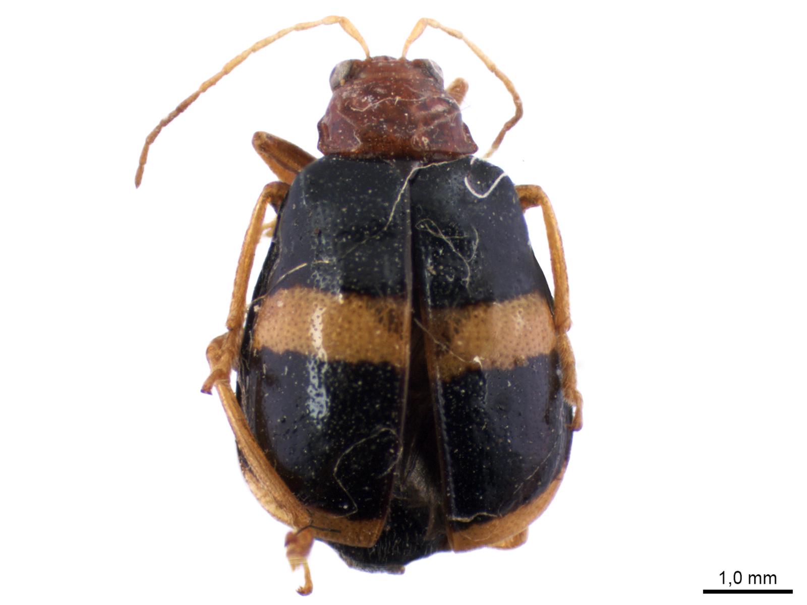 Gynandrobrotica lepida (Say, 1835)