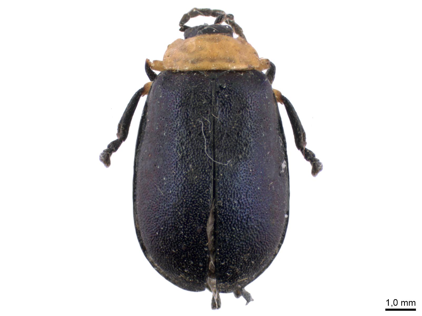 Asphaera abdominalis (Chevrolat, 1835)