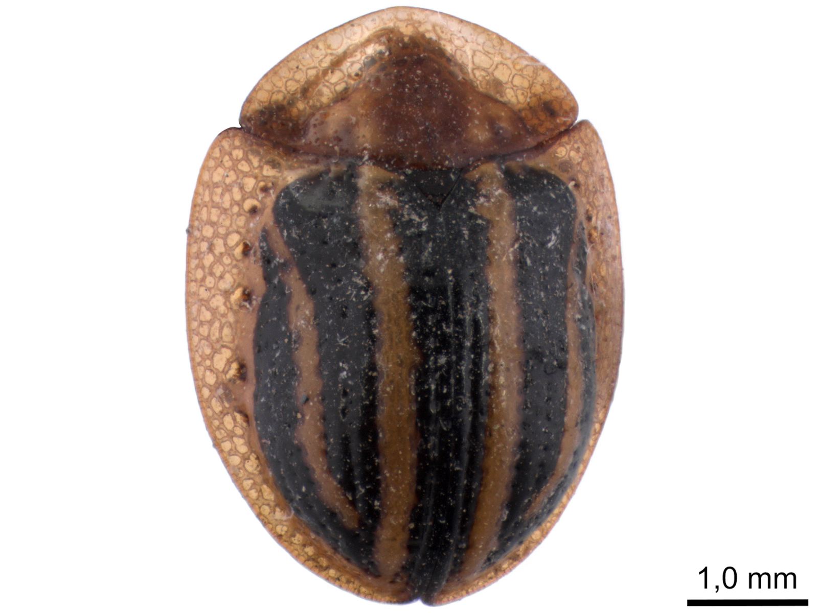 Agroiconotapropinqua(Boheman,1855)