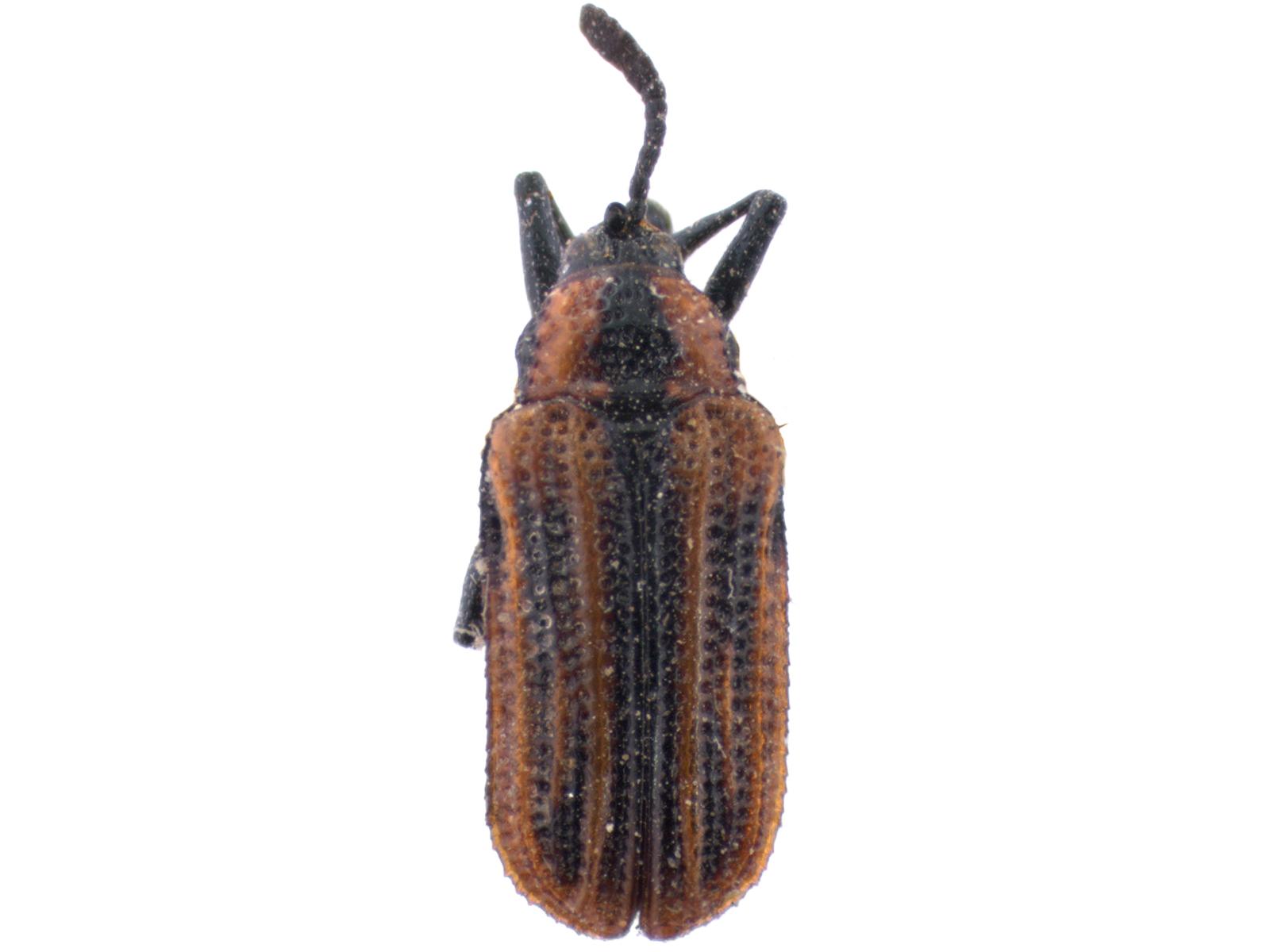 Pentispa vittatipennis(Baly, 1885)