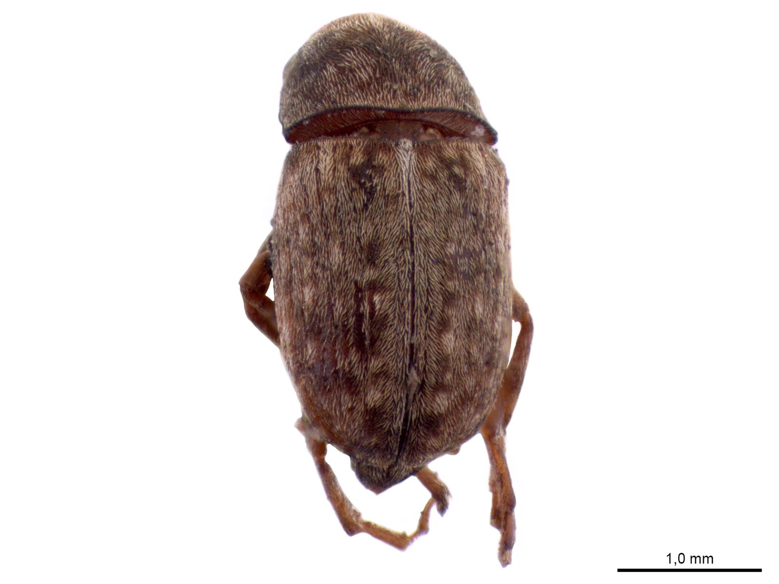 Araecerus fasciculatus(DeGeer, 1775)