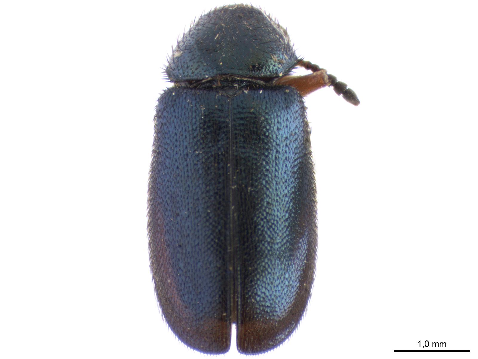 Necrobia spp.