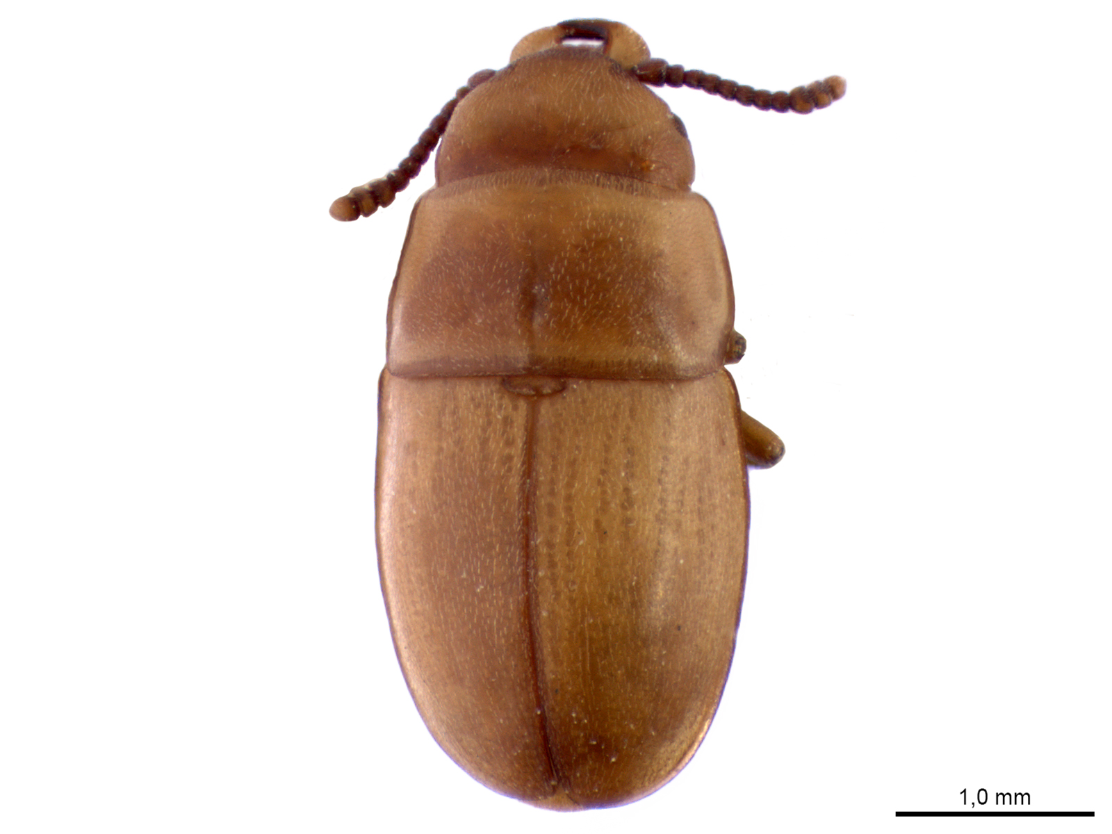 Antherophagus sp.