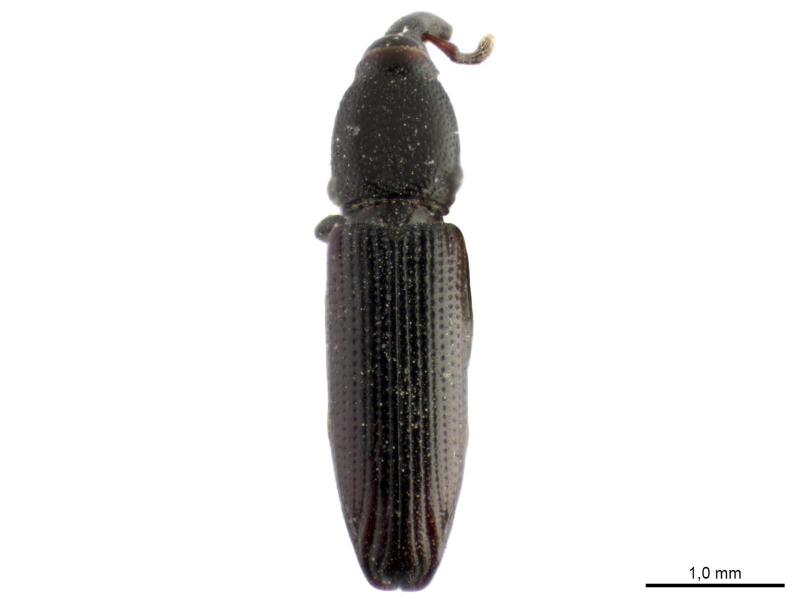 Catolethrus longulusBoheman, 1838