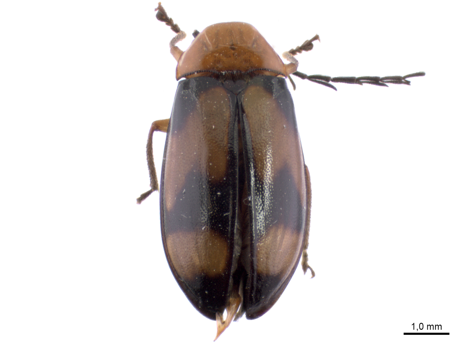 Ptilodactyla spp.