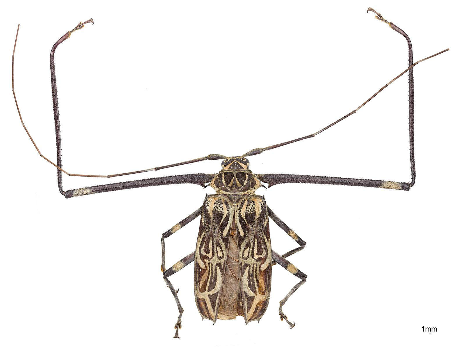 Acrocinus longimanus(Linnaeus, 1758)